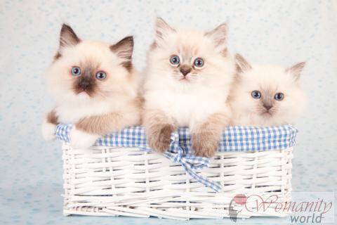 La Salute E La Riproduzione Ragdoll Cat Rivista Femminile Della