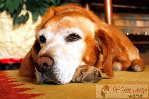 Wat is cognitieve dysfunction syndrome, of honden Alzheimer