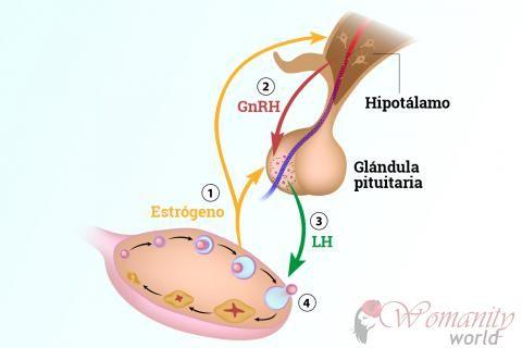 Der Hypothalamus und die Hypophyse während des Menstruationszyklus ...